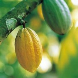 Cocoa Pods - Cocoa is grown in Central America and Africa and begins life in pods on a Cocoa tree.