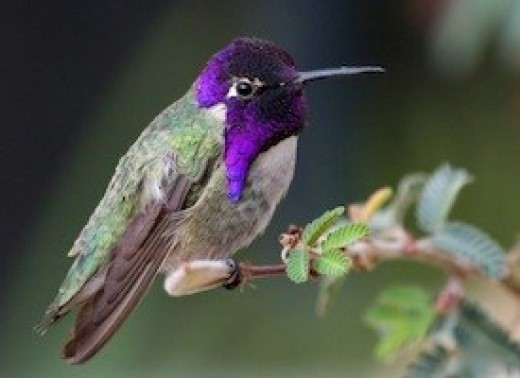 Costa's Hummingbird ( Calypte costae) has a green back w/ grey flanks. Females have black chins and heads. The male has an amethyst head and throat.