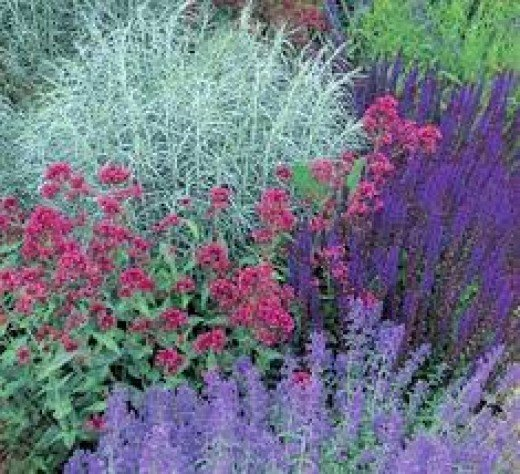 an attractive combination of blues, pinks, and lavenders are achieved here with Meadow sage, pink Jupiter's Beard, Lavender cotton, and Russian sage.
