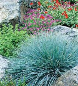 Blue fescue  grass works beautifully among rocks for visual impact.