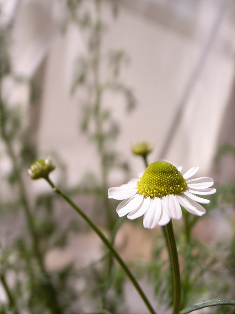 The pretty chamomile flower is also an effective healing herb.