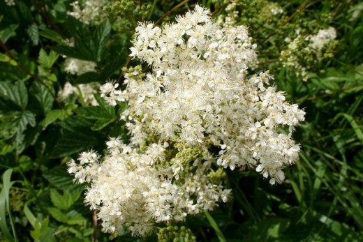 Meadowsweet is a good choice of herb when suffering the symptoms of trapped wind, ulcers, reflux, mild diarrhoea and gastritis.