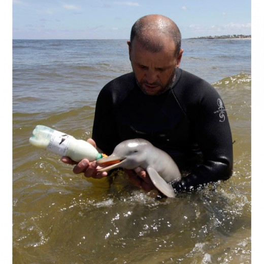 Rescued baby La Plata dolphin being bottle fed