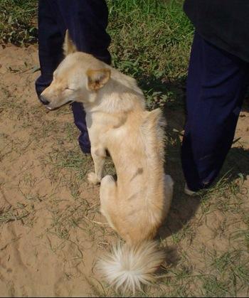 Cambodian Razorback Dog (Berger's Dog)