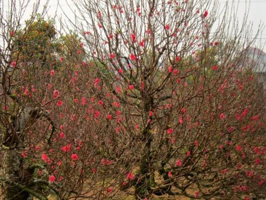 Cherry Blossoms for TET