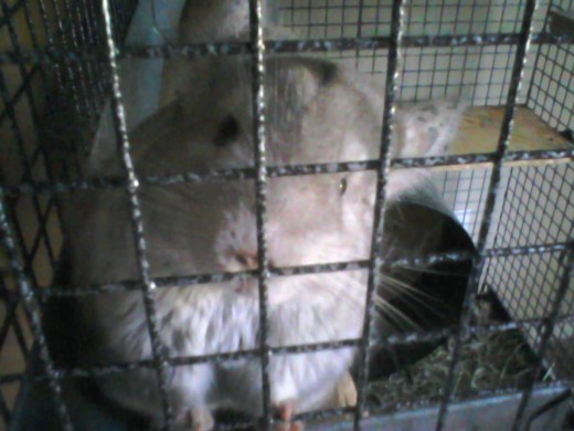 Gizmo (The female chinchilla)