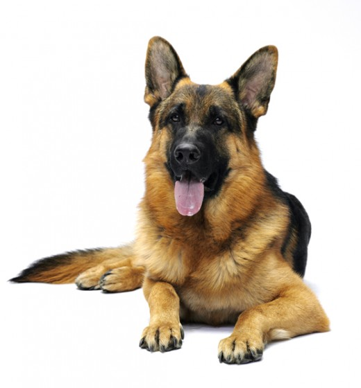 Modern Breed Of German Shepherd Dog