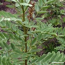 Licorice Tea Plant