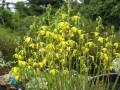 Albuca  Alcea,and Alchemilla. A-Z of Plant Genera { 14 }