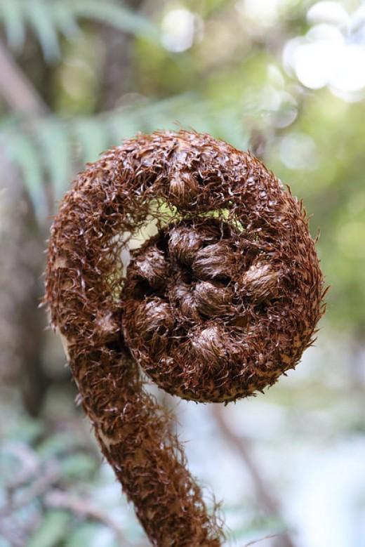 The frond of a silver fern unfurls ~ a koru