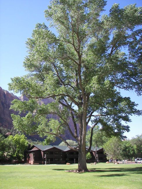Cottonwood Tree in Zion National Park, Utah. The roots of this tree are used for Katsina dolls by the Hopi.