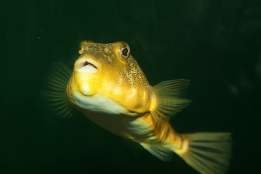 Northern Puffer (Sphoeroides maculatus)