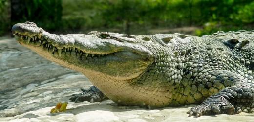 A huge croc, about 9 feet long.