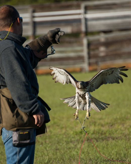 This is scar and his falconer human flying the creance.