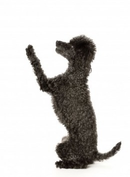 Toy Poodles are very smart, therefore, easy to train!