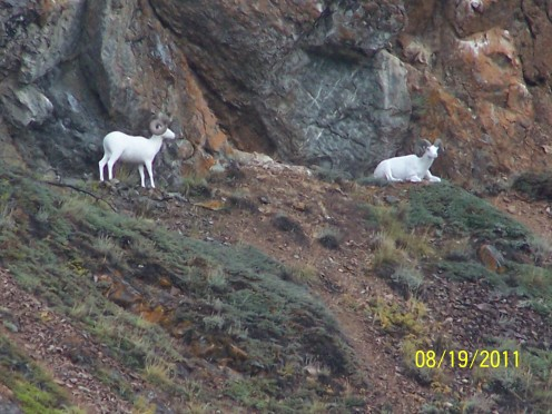 THEY HADN'T MOVED A MUSCLE ON THE HILLSIDE ABOVE CARCROSS, ALASKA.