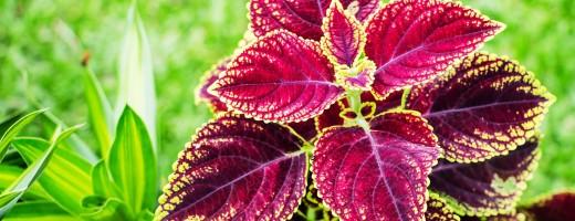 Coleus Forskoli Plant