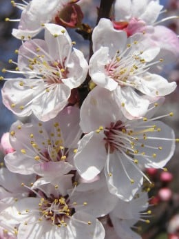 Close up of Apricot Flowers