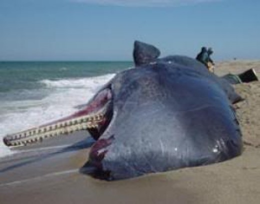 Beached Sperm Whale.