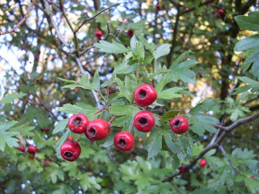 Hawthorn Fruit