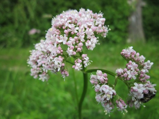 The Valerian plant has long been used to promote sleep