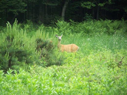 Whitetail Deer in Meadow