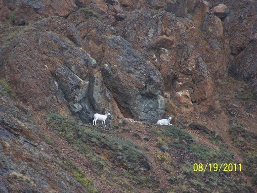 I WATCHED THESE MOUNTAIN GOATS FOR 5 MINUTES OR SO ... AND THEY KEPT STARING RIGHT BACK.
