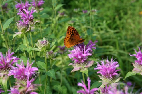 Butterfly on monarda.