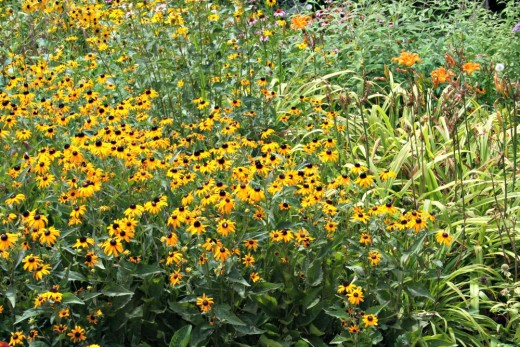 Rudbeckia or Black-Eyed Susan