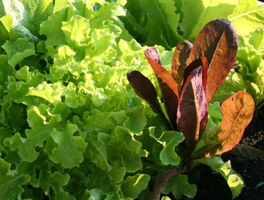 Lettuce is also easy to grow.