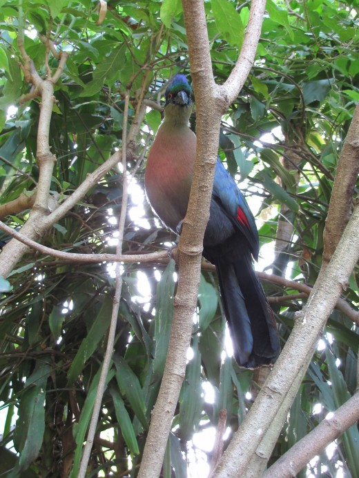 PurpleTuraco-a common bird in Durban area