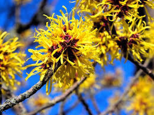 Witch Hazel- flowers of February
