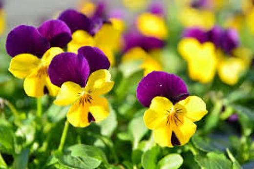 Pansies- flowers of February