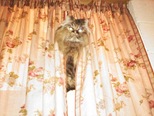 Persian's can be creepy. I heard a movement in my window and looked above my bed and there she was at 4am.