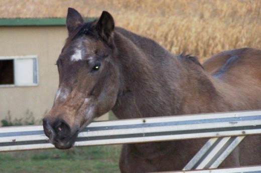 My old mare, Smokey. (AKA Forked Feature.)