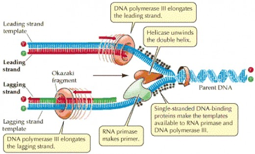 a summary of dna in humans