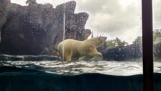 Polar bear at the St. Louis Zoo