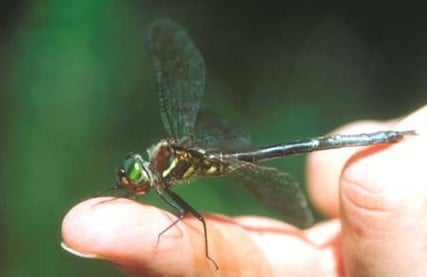 HIne's Emerald Dragonfly