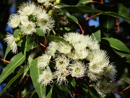 The Eucalyptus plant with flowers