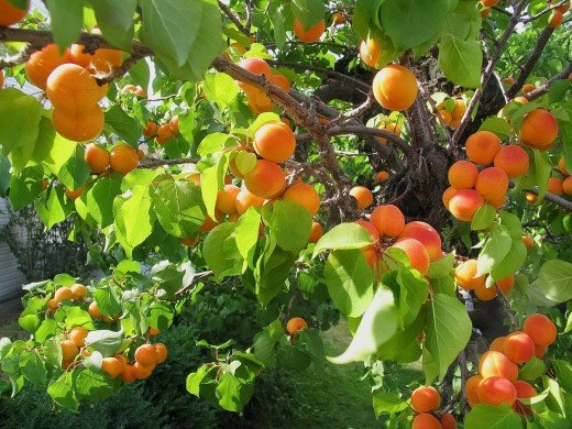 An apricot tree with fruit