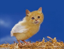 A chicken cat... or a chickat