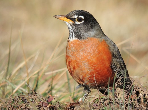 An American Robin photographed while searching for food in a Missouri field.