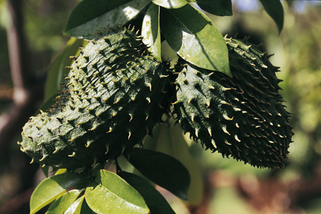 The Graviola or soursop fruit is eaten raw.  The tree's leaves are boiled and drank as an anti-cancer concoction.