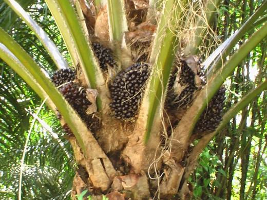 Palm Oil Plantations.