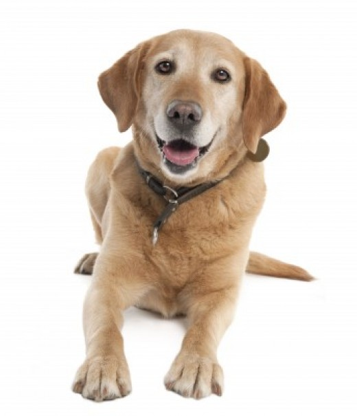 Labradors aim to please and are loyal companions!