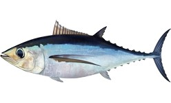Make A Tuna Sandwich:  Albacore Tuna vs Chunk Light Tuna, Which one will you throw back?