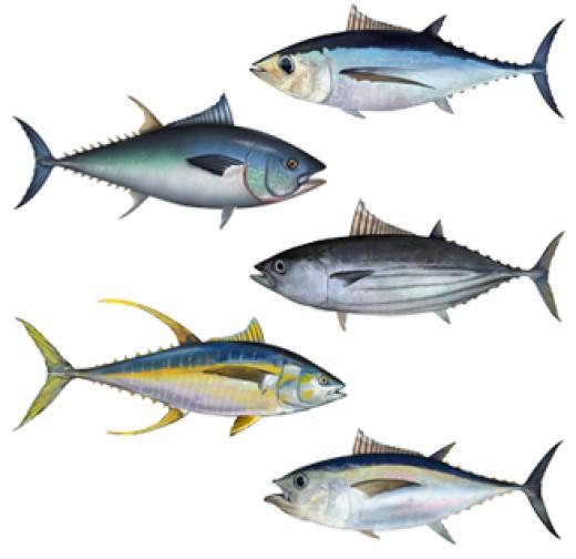 According to Wikimedia: Albacore tuna, Atlantic bluefin tuna, Skipjack tuna,Yellowfin tuna, Bigeye tuna