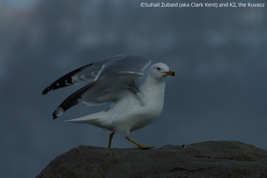 The ubiquitous ring-billed gulls, like this one at Niagara Falls, are a constant companion of urban folks throughout the year.