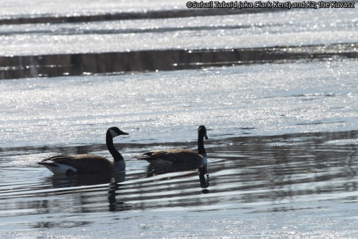 These Canada gander and goose took to ice covered waters, but will usually stay on meadows eating seeds and vegetation.