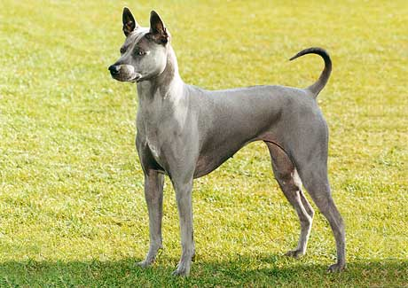 A Blue Thai Ridgeback dog.